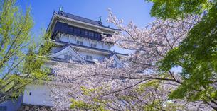 福岡県 桜 小倉城 (勝山公園)の写真素材 [FYI04508742]
