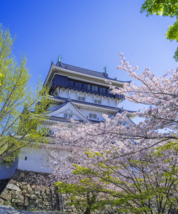 福岡県 桜 小倉城 (勝山公園)の写真素材 [FYI04508744]