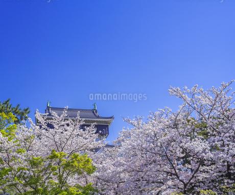 福岡県 桜 小倉城 (勝山公園)の写真素材 [FYI04508749]