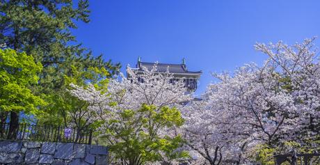 福岡県 桜 小倉城 (勝山公園)の写真素材 [FYI04508751]