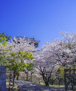 福岡県 桜 小倉城 (勝山公園)の写真素材 [FYI04508757]