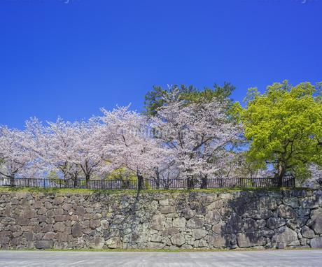 福岡県 桜 小倉城 城壁と桜 (勝山公園) の写真素材 [FYI04508769]
