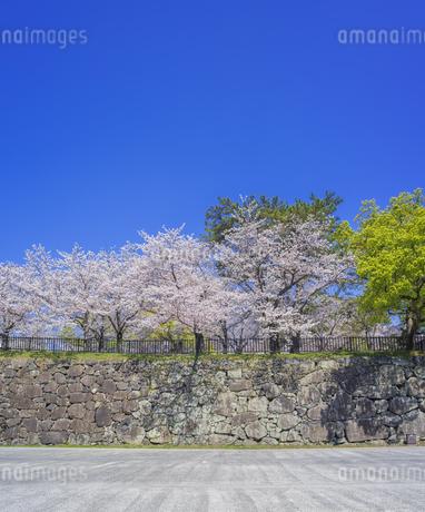 福岡県 桜 小倉城 城壁と桜 (勝山公園) の写真素材 [FYI04508771]