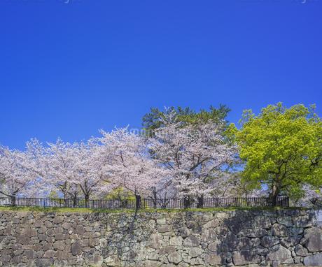 福岡県 桜 小倉城 城壁と桜 (勝山公園) の写真素材 [FYI04508773]