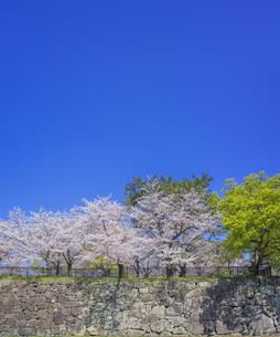 福岡県 桜 小倉城 城壁と桜 (勝山公園) の写真素材 [FYI04508776]