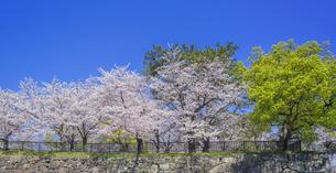 福岡県 桜 小倉城 城壁と桜 (勝山公園) の写真素材 [FYI04508779]
