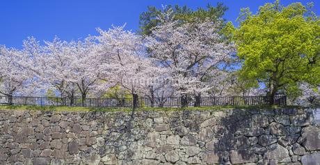 福岡県 桜 小倉城 城壁と桜 (勝山公園) の写真素材 [FYI04508781]