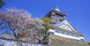 福岡県 桜 小倉城 (勝山公園)の写真素材 [FYI04508791]