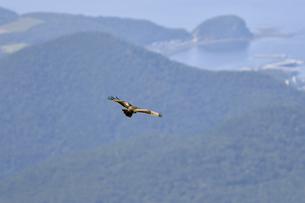 港を見下ろして飛ぶノスリ(北海道・知床)の写真素材 [FYI04508940]