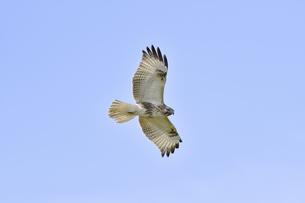 ノスリの飛翔(北海道・知床)の写真素材 [FYI04508942]