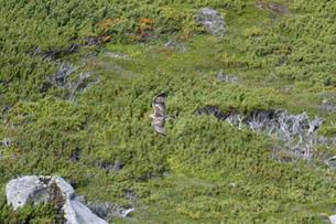 ハイマツ帯を飛ぶノスリ(北海道・知床)の写真素材 [FYI04508944]