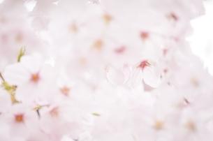 桜の間の桜の写真素材 [FYI04508953]