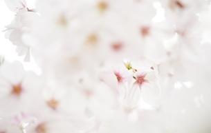 下から見た桜の写真素材 [FYI04508954]