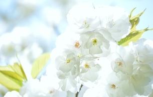 空と桜の写真素材 [FYI04508955]