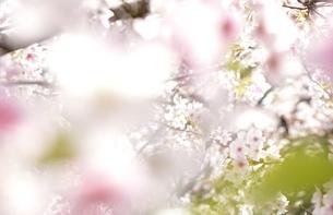 桜並木の中の写真素材 [FYI04508956]
