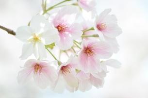 きれいな桜の写真素材 [FYI04508957]