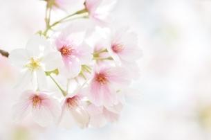 かわいい桜の写真素材 [FYI04508958]