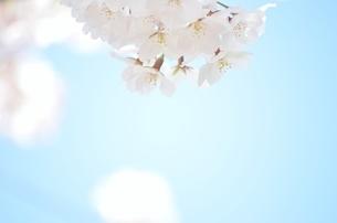 青空と桜の写真素材 [FYI04508959]