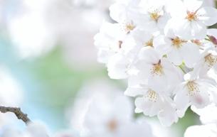 大阪の桜の写真素材 [FYI04508960]