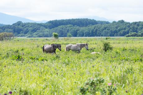 馬の放牧の写真素材 [FYI04509169]