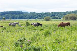 馬の放牧の写真素材 [FYI04509170]