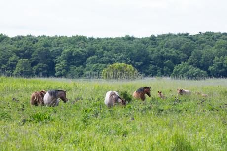 馬の放牧の写真素材 [FYI04509171]