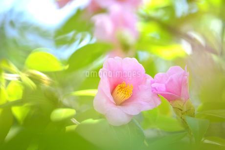 侘助の花の写真素材 [FYI04509244]