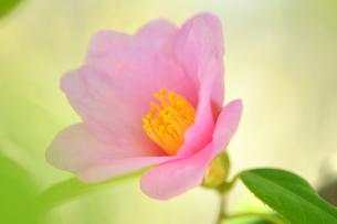 侘助の花の写真素材 [FYI04509258]
