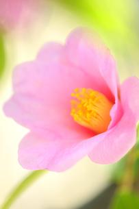 侘助の花の写真素材 [FYI04509261]