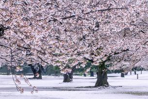 満開の桜と春の雪 東京の写真素材 [FYI04509775]
