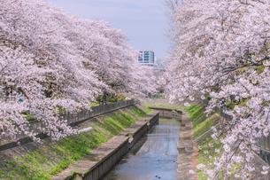 善福寺川の桜並木 東京の写真素材 [FYI04509777]