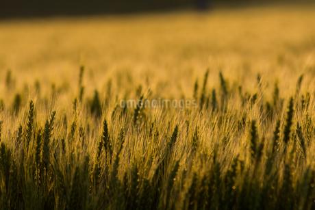 夕日を浴びて輝く黄金色のムギ畑の写真素材 [FYI04510018]