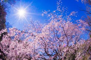 枝垂れ桜と晴天の青空の写真素材 [FYI04510026]