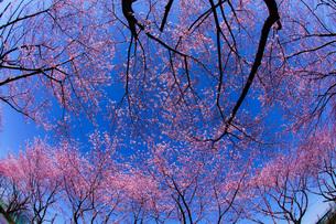 満開の桜と晴天の青空(調布飛行場)の写真素材 [FYI04510083]