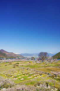 花咲くあんずの里と白馬連峰と高妻山とお稲荷様のケヤキの写真素材 [FYI04510279]