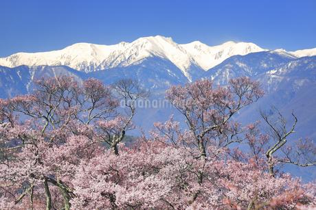 タカトオコヒガンザクラと木曽駒ヶ岳など中央アルプスの写真素材 [FYI04510375]
