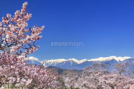タカトオコヒガンザクラと木曽駒ヶ岳など中央アルプスの写真素材 [FYI04510380]