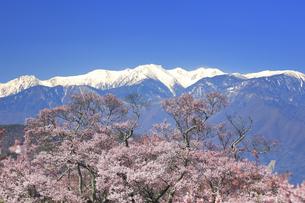タカトオコヒガンザクラと木曽駒ヶ岳など中央アルプスの写真素材 [FYI04510389]
