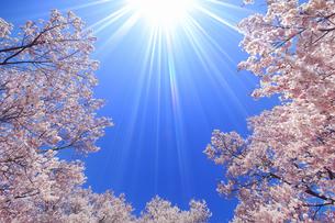 タカトオコヒガンザクラと太陽の光芒の写真素材 [FYI04510396]
