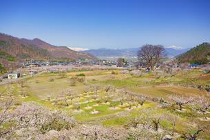 花咲くあんずの里と白馬連峰と高妻山とお稲荷様のケヤキの写真素材 [FYI04510467]