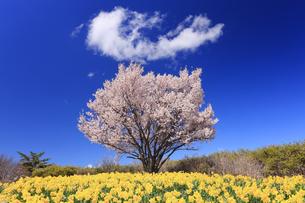 アートヴィレッジ明神館の桜とスイセンと冠型のわた雲の写真素材 [FYI04510545]