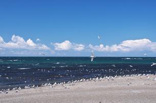 ニシンの群来が見られた海岸に集まるカモメの写真素材 [FYI04510684]