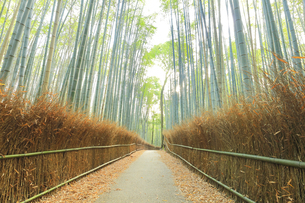 京都 竹林の小径の写真素材 [FYI04510843]
