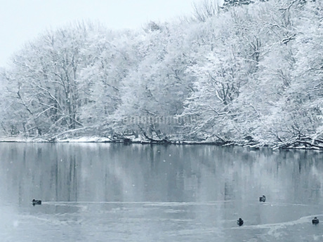 冬の屈斜路湖の水鳥と白い風景の写真素材 [FYI04511137]