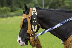 馬具を付けた馬の写真素材 [FYI04511312]