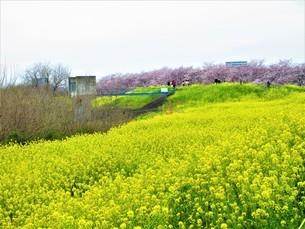 美しき菜の花畑の写真素材 [FYI04511628]