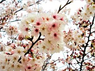 春の自然桜の花の写真素材 [FYI04511641]