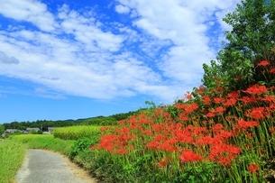山の辺の道とヒガンバナの写真素材 [FYI04511990]