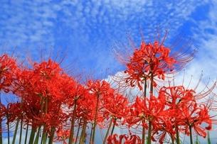 ヒガンバナといわし雲の写真素材 [FYI04512005]