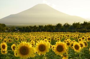 ひまわり畑と富士山の写真素材 [FYI04512438]
